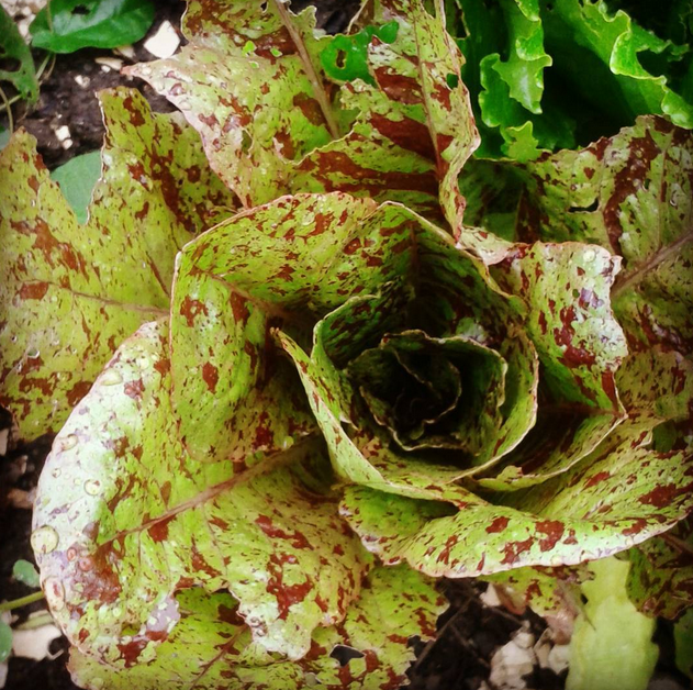 lettuce Bristol allotment